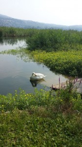 la rosa del lago1